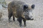 NS: Lovci i policija u pripravnosti zbog divljih svinja i lisica