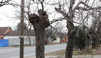 Počinje orezivanje i uklanjanje starih i sadnja novih stabala u delu Petrovaradina