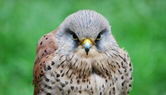 Novosađanin kažnjen sa 50.000 RSD zbog prodaje zaštićene ptice