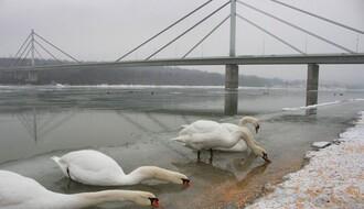 PTIČJI GRIP: Na Dunavu kod Borče uginulo 36 labudova, virus potvrđen i u ZR