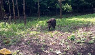 Razrađena strategija za sledeći upad divljih svinja u Novi Sad