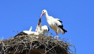 Zašto stradaju rode i šta da uradite ako naiđete na povređenu pticu