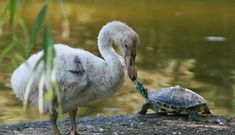 """""""Zelenilo"""" tri meseca krilo od Novosađana šta se desilo sa labudićima"""