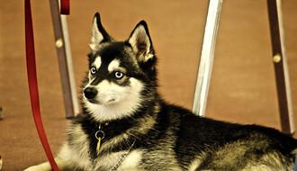 Upoznajte haskijevog rođaka - aljaskog kli-kaja