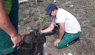 """FOTO: Radnici """"Zelenila"""" i """"Zoohigijene"""" zbrinuli povređenu srnu"""