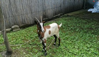 Kako je jedna koza ujedinila Novosađanke (FOTO)