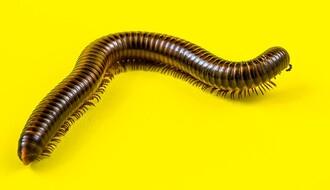 ZA GINISA: Novosađanki iz nosa izvađen parazit dug 4 centimetra