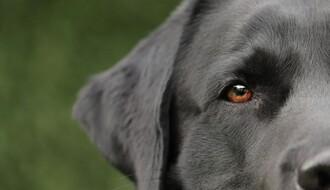 ISTRAŽIVANJA: Psi mogu da nanjuše korona virus