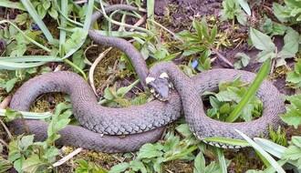 Treba li Novosađani da strahuju od zmija?