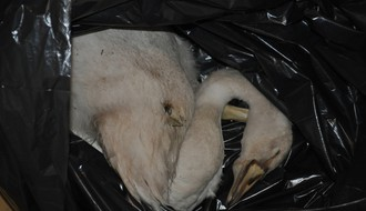 UZNEMIRUJUĆE FOTOGRAFIJE LABUDOVA: Zelenilo najavljuje bolje obezbeđenje i nove labudove