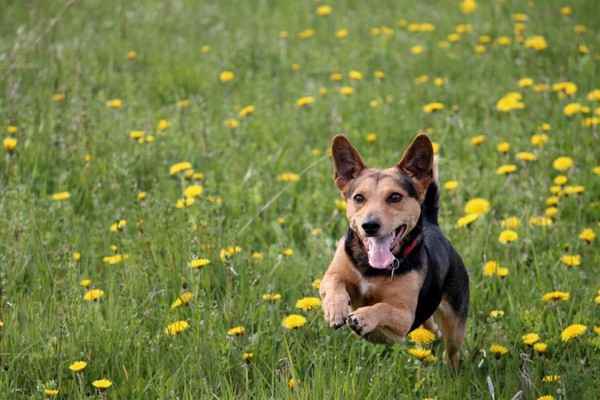 Psi mogu nanjušiti dijabetes i rak