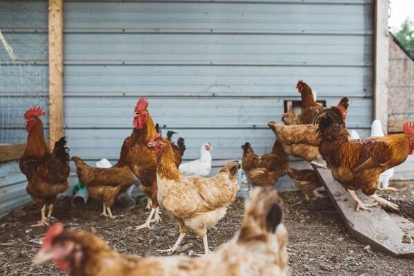 Ptičiji grip: Rizik postoji, ali razloga za brigu nema
