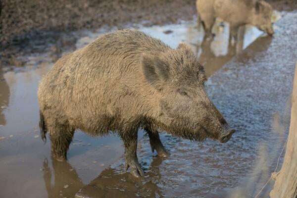 VIDEO: Divlja svinja pojurila mladića na Limanu 4