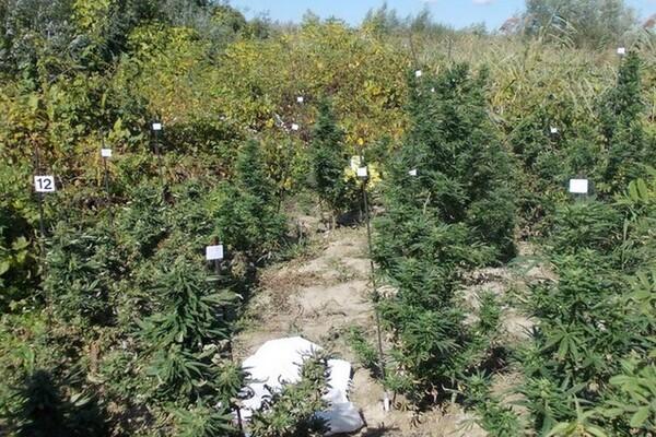 Novosađanin uhapšen u zasadu marihuane (FOTO)