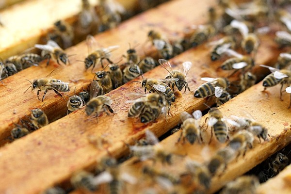 Upozorenje pčelarima: Tretmani protiv komaraca od 21. maja do 5. juna