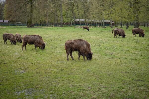 Bizoni na proleće na Fruškoj gori: Posle 200 godina još jedna životinjska vrsta u Srbiji