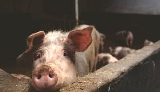 Temerinac štrajkuje glađu zbog zagađenja iz farme svinja