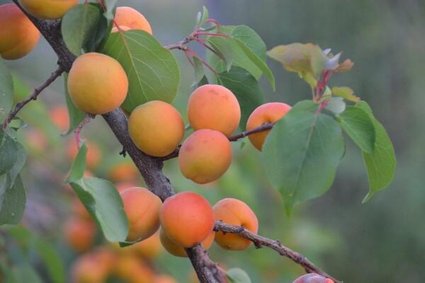 BUKOVAC: Nepoznati počinioci posekli voćnjak sa 280 stabala kajsije
