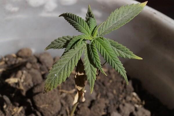 MUP: U kući u Futogu uzgajao 105 stabljika marihuane